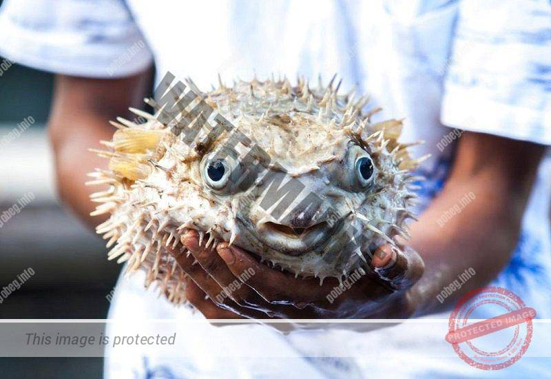 Ядовитая рыба фугу на руках у повара